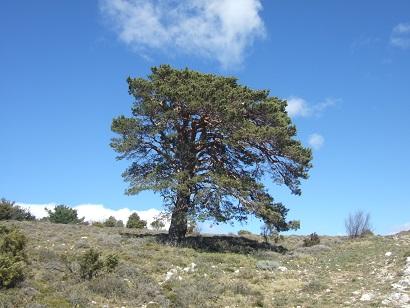 Pinus sylvestris - pin sylvestre Dscf5817