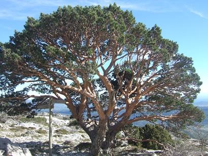 Pinus sylvestris - pin sylvestre Dscf5818