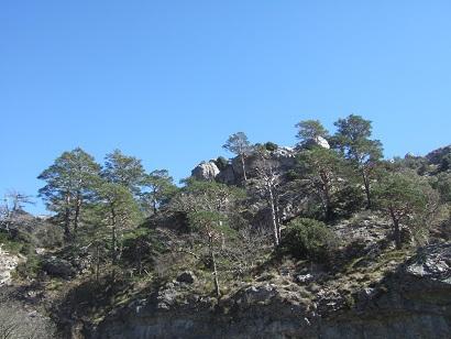 Pinus sylvestris - pin sylvestre Dscf5819
