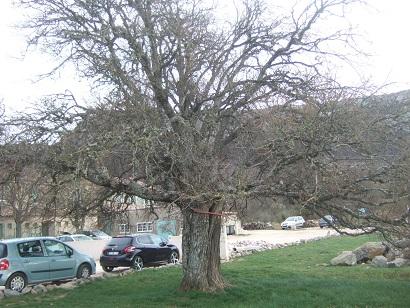 Acer monspessulanum - érable de Montpellier Dscf5822