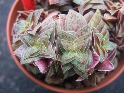 Crassula exilis subsp. picturata Dscf5834