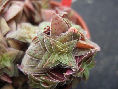Crassula exilis subsp. picturata Dscf5835