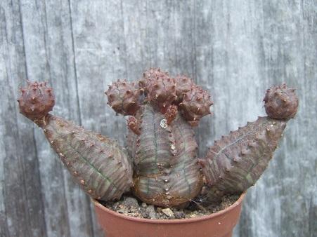 Euphorbia obesa x meloformis Dscf6010