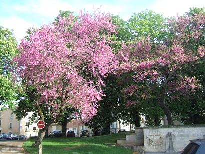 Cercis siliquastrum - arbre de Judée  - Page 2 Dscf6019