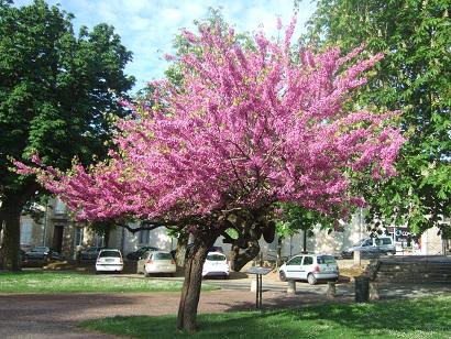 Cercis siliquastrum - arbre de Judée  - Page 2 Dscf6020