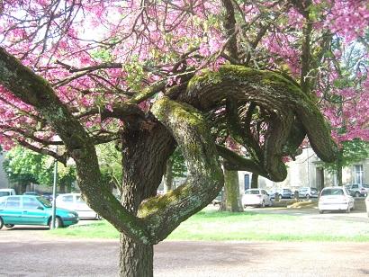 Cercis siliquastrum - arbre de Judée  - Page 2 Dscf6021