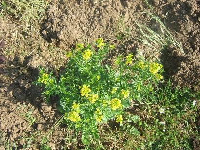 Barbarea vulgaris - barbarée commune Dscf6026