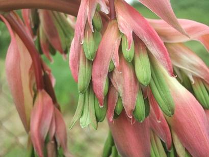 Beschorneria yuccoides - Page 3 Dscf6029