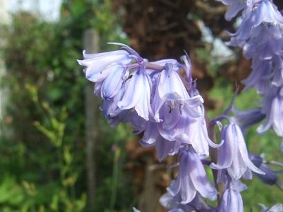 Hyacinthoides hispanica - jacinthe d'Espagne Dscf6041