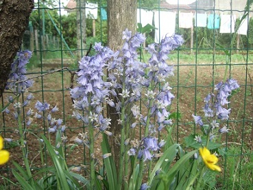 Hyacinthoides hispanica - jacinthe d'Espagne Dscf6043