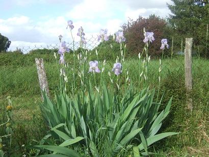 Iris pallida - groupe pallida Dscf6123