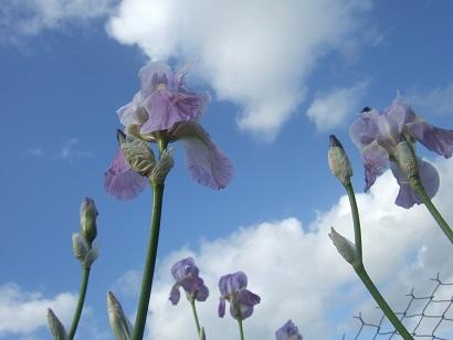 Iris pallida - groupe pallida Dscf6125