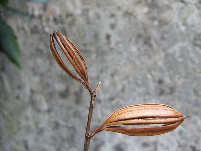 Bletilla striata - orchidée du Japon - Page 2 Dscf6130