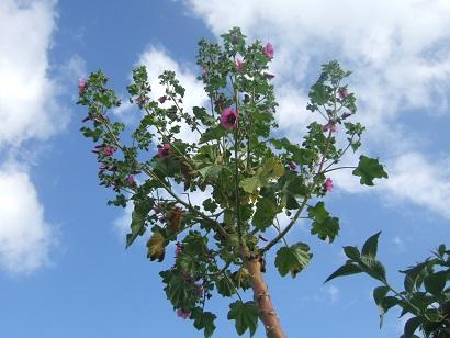 Malva arborea (= Malva dendromorpha) - mauve en arbre Dscf6131