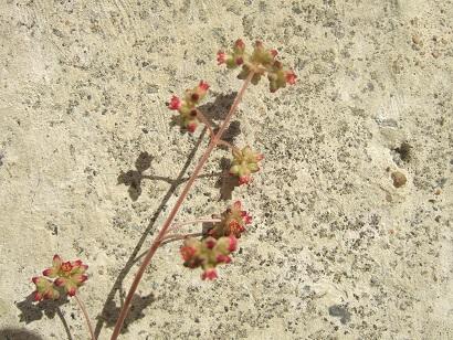 Crassula orbicularis var. orbicularis Dscf6135