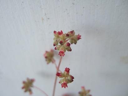 Crassula orbicularis var. orbicularis Dscf6136