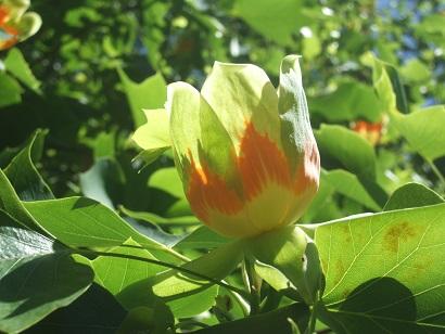 Liriodendron tulipifera - tulipier de Virginie - Page 2 Dscf6211