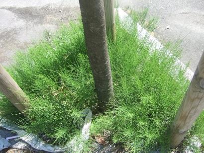 Equisetum arvense - prêle des champs  Dscf6213