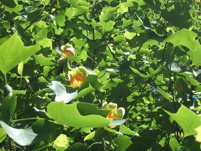 Liriodendron tulipifera - tulipier de Virginie - Page 2 Dscf6218