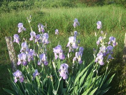 le joli mois de mai des fous jardiniers - Page 5 Dscf6312