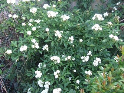 rosier 'Purezza' = Rosa banksiae 'Purezza' - Page 2 Dscf6317