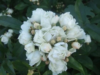rosier 'Purezza' = Rosa banksiae 'Purezza' - Page 2 Dscf6318
