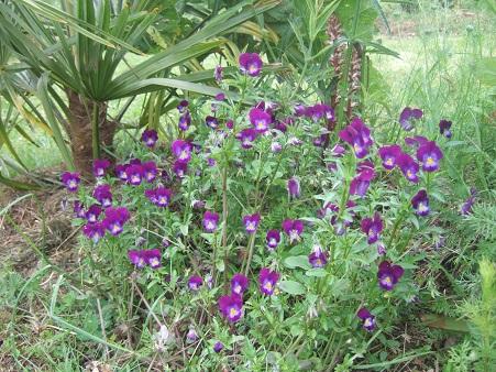 le joli mois de mai des fous jardiniers - Page 6 Dscf6358