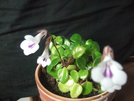 Primulina tamiana Dscf6433
