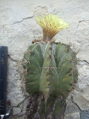 Astrophytum ornatum Dscf6512