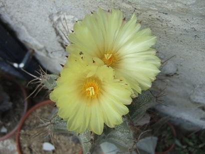 Astrophytum ornatum Dscf6513
