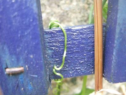 Gynostemma pentaphyllum - thé de l'immortalité Dscf6526