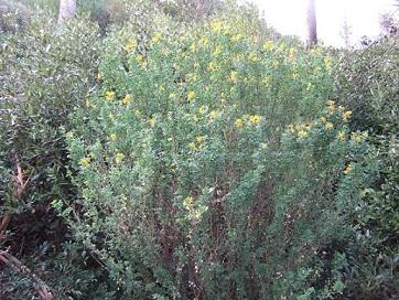 Medicago arborea - luzerne arborescente Dscf8011