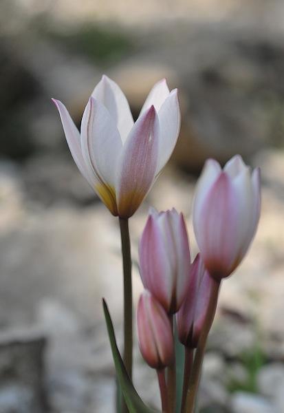 """Concours """"Bulbeuse à floraison printanière"""" - Les votes Tulipa10"""