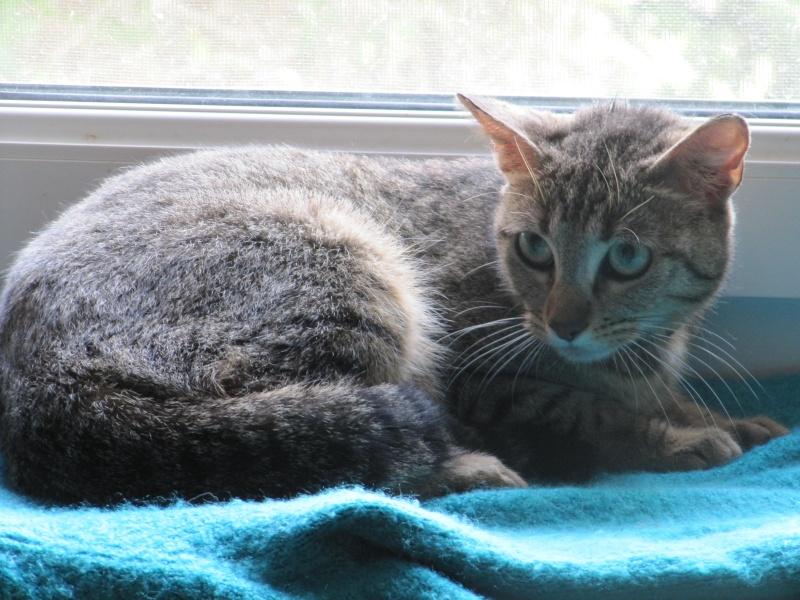 Trouvée chatte tigrée Colomiers Img_3441