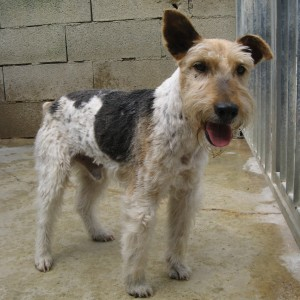 CESAR  Fox Terrier  11 ans   -   SPA DE  GRILLON  (84) Cysar-10