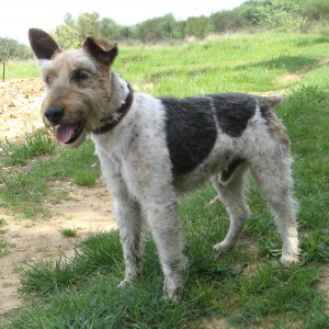 CESAR  Fox Terrier  11 ans   -   SPA DE  GRILLON  (84) Cysar110
