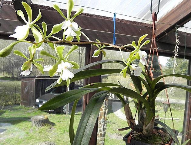 Epidendrum Floribundum Epiden17