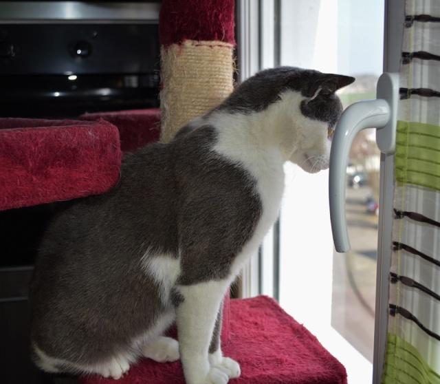 JACKPOT, chat européen gris et blanc, né en avril 2014 Dsc_0010
