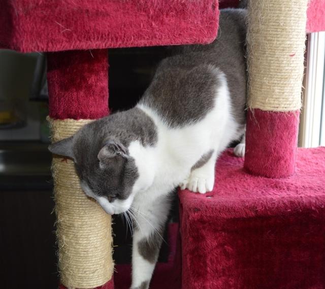 JACKPOT, chat européen gris et blanc, né en avril 2014 Dsc_0011