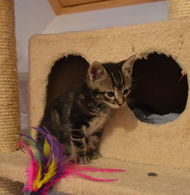 LOOPING, chaton mâle tigré, né le 20/03/2015 Dsc_0049