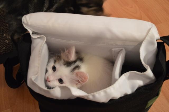 LOUKOUM, chaton Européen  blanc tacheté, à poils longs, né le 20/03/2015 Dsc_0056