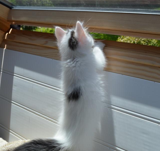 LOUKOUM, chaton Européen  blanc tacheté, à poils longs, né le 20/03/2015 Dsc_0057