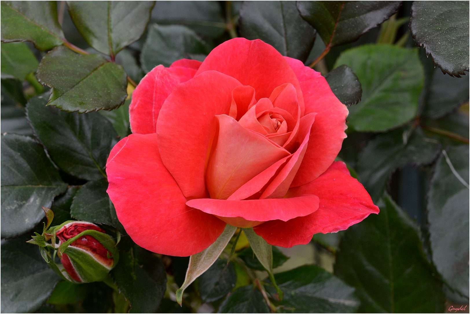 Rose douceur 2015  20150510