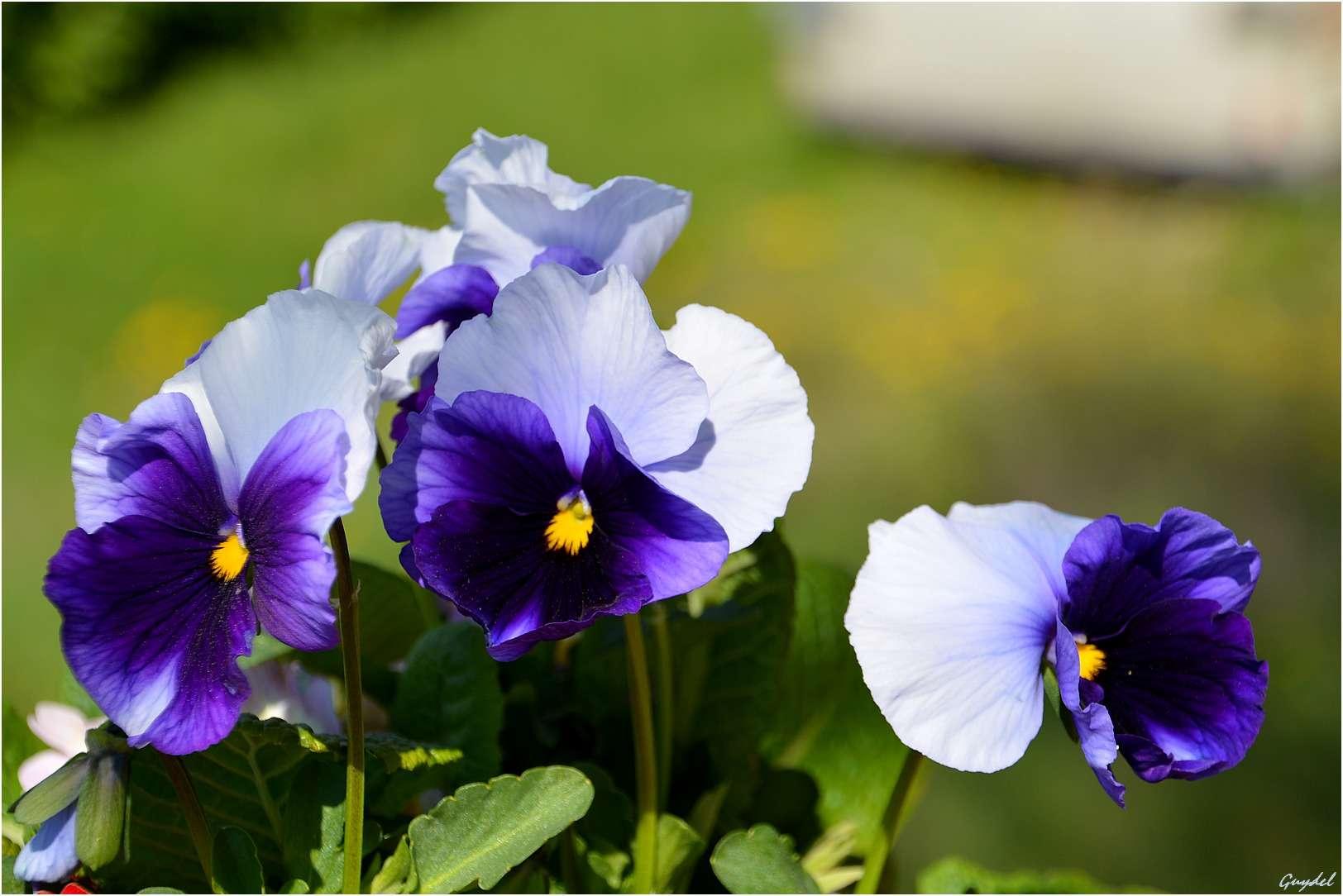 J'ai quelques pensées bleues Fleurs10