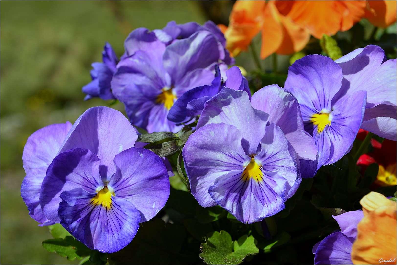 J'ai quelques pensées bleues Fleurs11