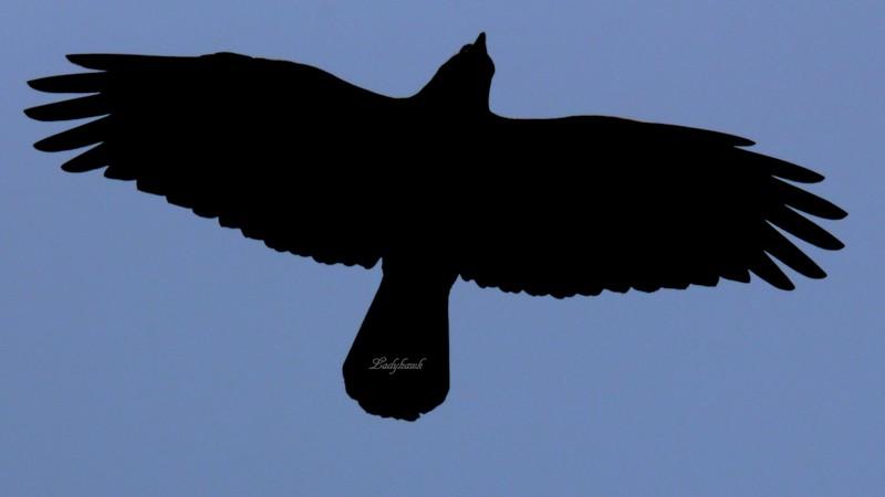 raven Img_0713