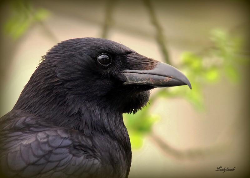 corvus Img_6910