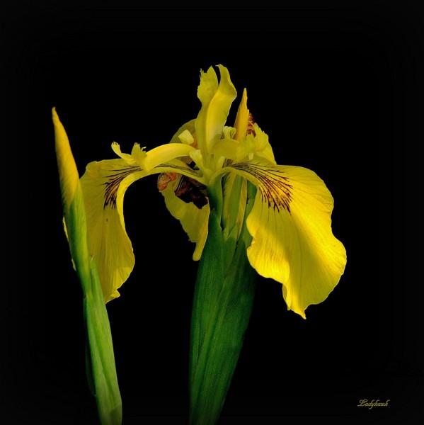 fleur sauvage Img_9411