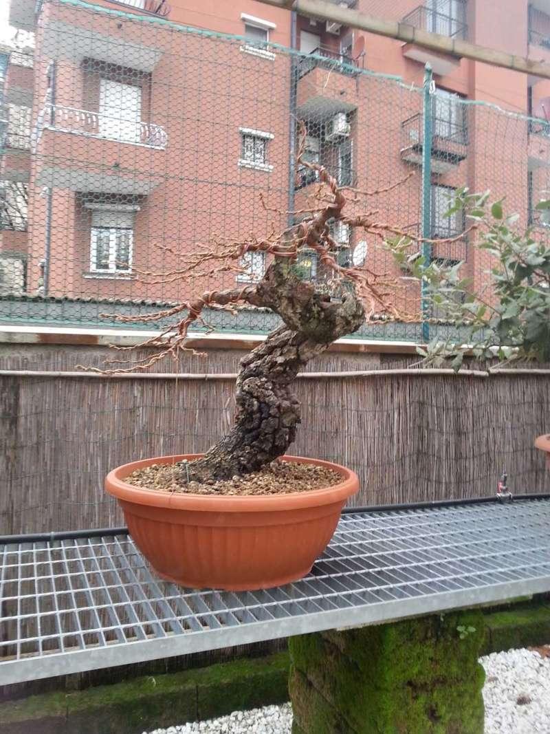 Quercus cerris - Pagina 6 20141210