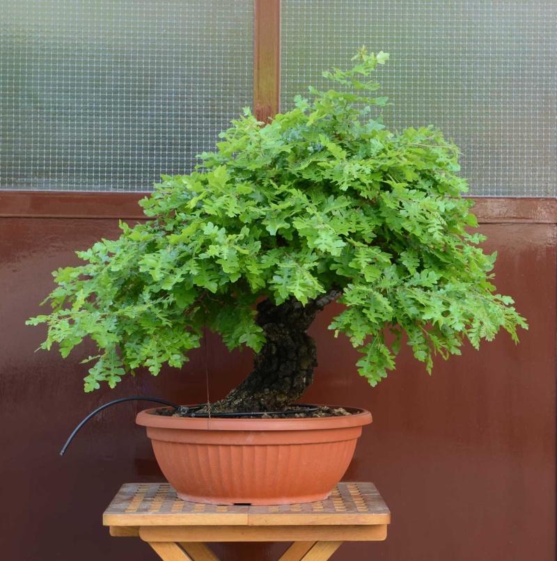 Quercus cerris - Pagina 6 Cerro-10